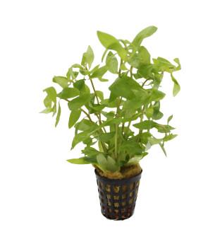 Grüne Wasserpflanzen